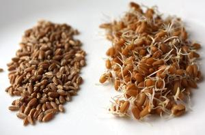 Как проросщенная пшеница помогает похудеть